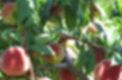 peaches 2 - Cropped.jpg