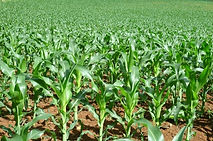 Corn Sorghum crop insurance, 2014 farm bill, georgia