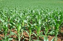 Corn Sorghum crop insurance, 2014 farm bill, georgia