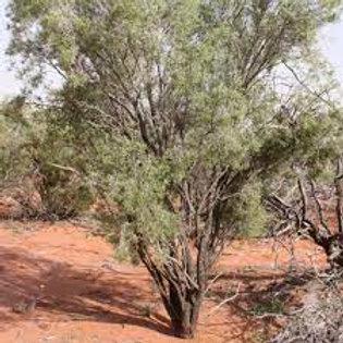 Buddha Wood/ Desert Rosewood