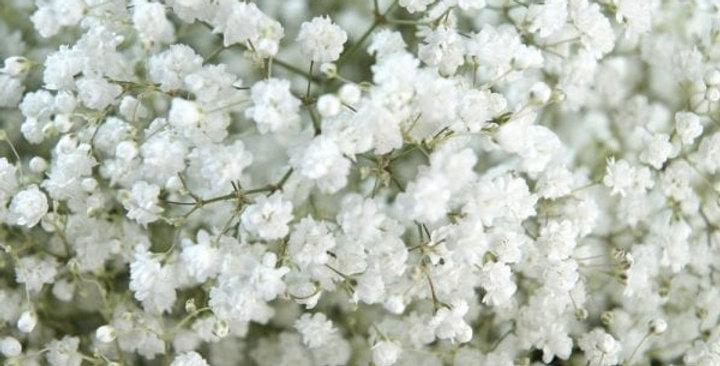 Gypsophila White NM