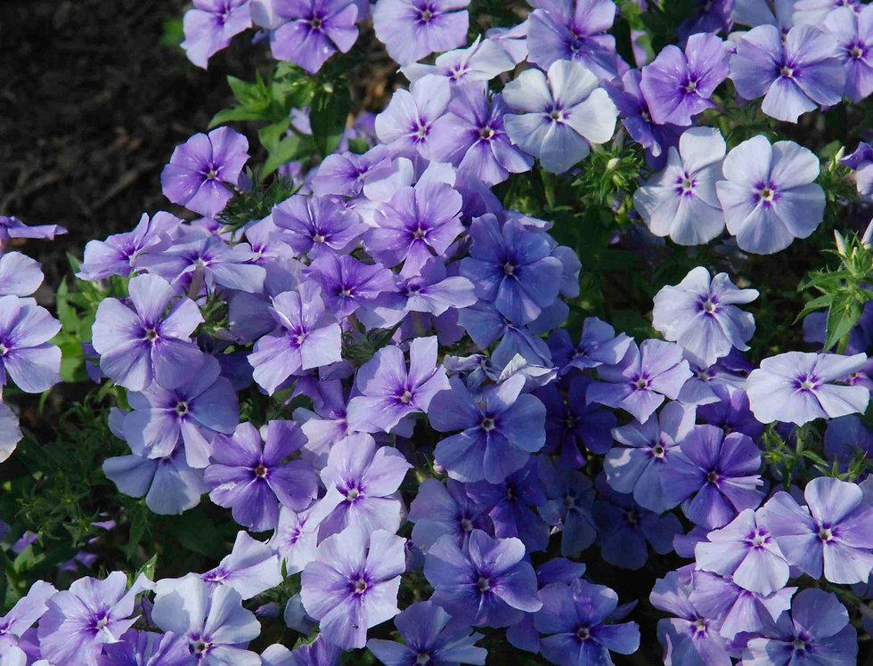Phlox Beauty Blue