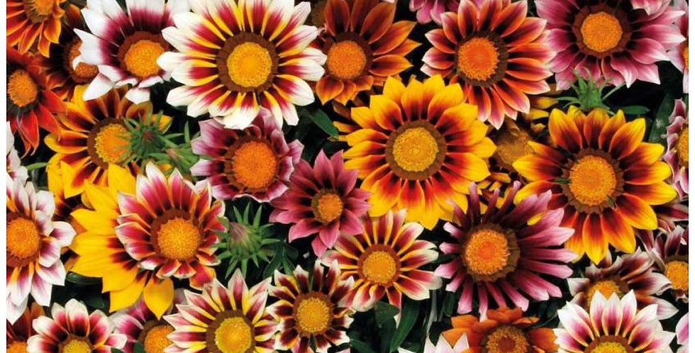 Gazania Star Light Dwarf