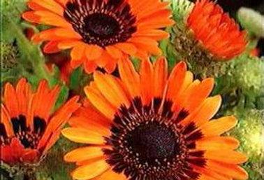 Venedium fastuosum Orange-NM