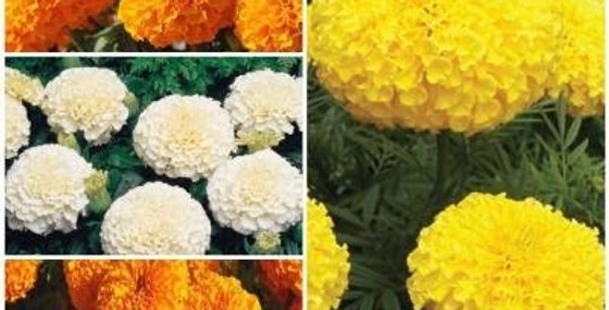 African Marigold F2 Flower Kit - 4 Packets