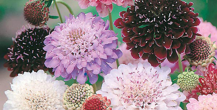 Scabiosa Tall Double Mix-NM