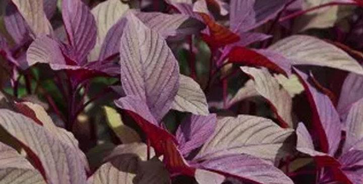 Amaranthus Red