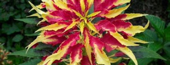 Amaranthus Tricolour