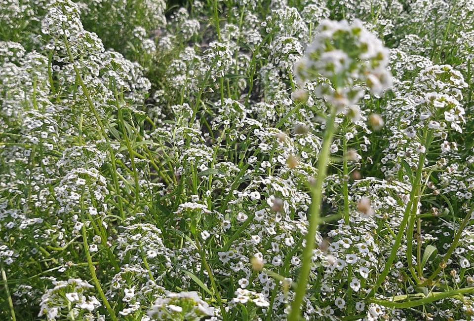 Alyssum Benthami White(Sweet Allysum) NM