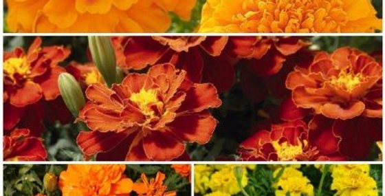 French Marigold Flower Kit - 4 Packets