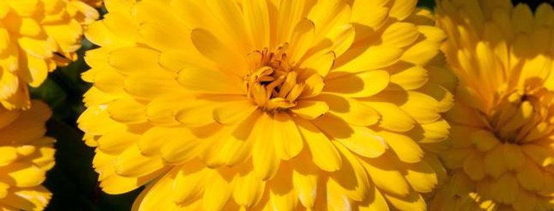 Calendula officinalis Fiesta Gitana Yellow NM