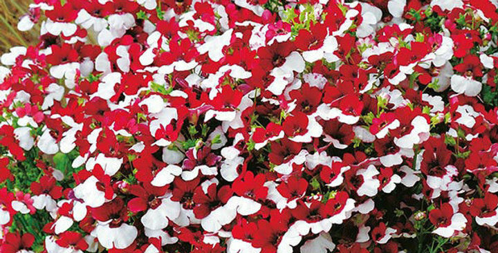 Nemesia Red and White NM