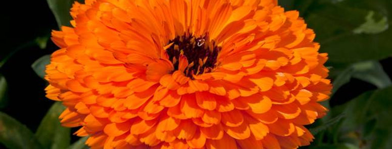Calendula officinalis Fiesta Gitana Orange NM