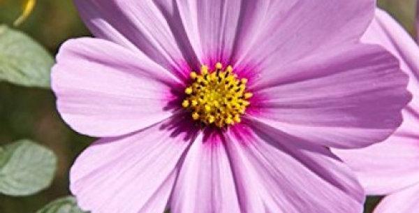 Cosmos bipinnatus Sensations Mix (CBS) NM