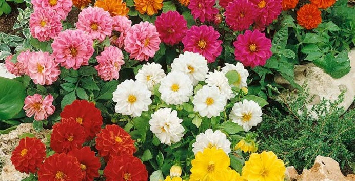 Dahlia Unwins Hybrids Mix NM