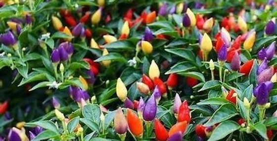 Ornamental Chilly (Capsicum) Choice Round Mix NM