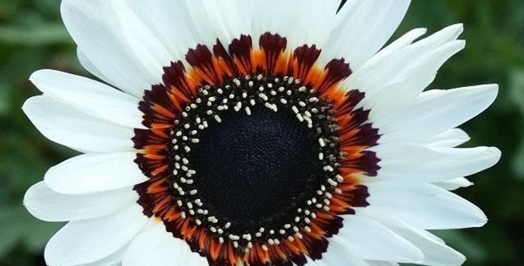 Venedium fastuosum White-NM