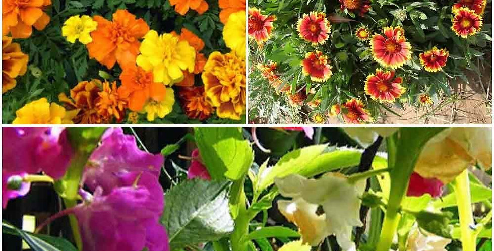 Rainy Season Special Flowers-3 Packets