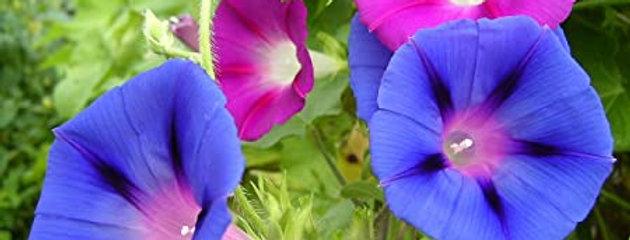 Ipomea Purpurea Mix - NM