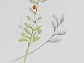 Tea tree plant- field sketch