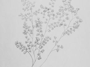 Maiden hair fern - field sketch