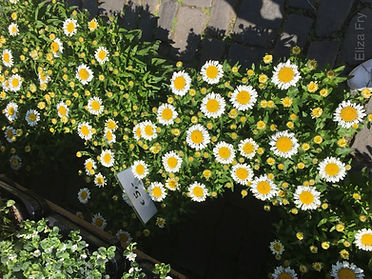 Daisies with Watermark_horiz.jpg
