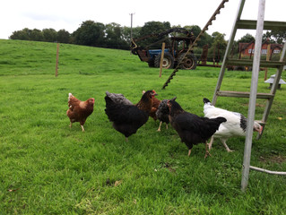 Chickens again at last!