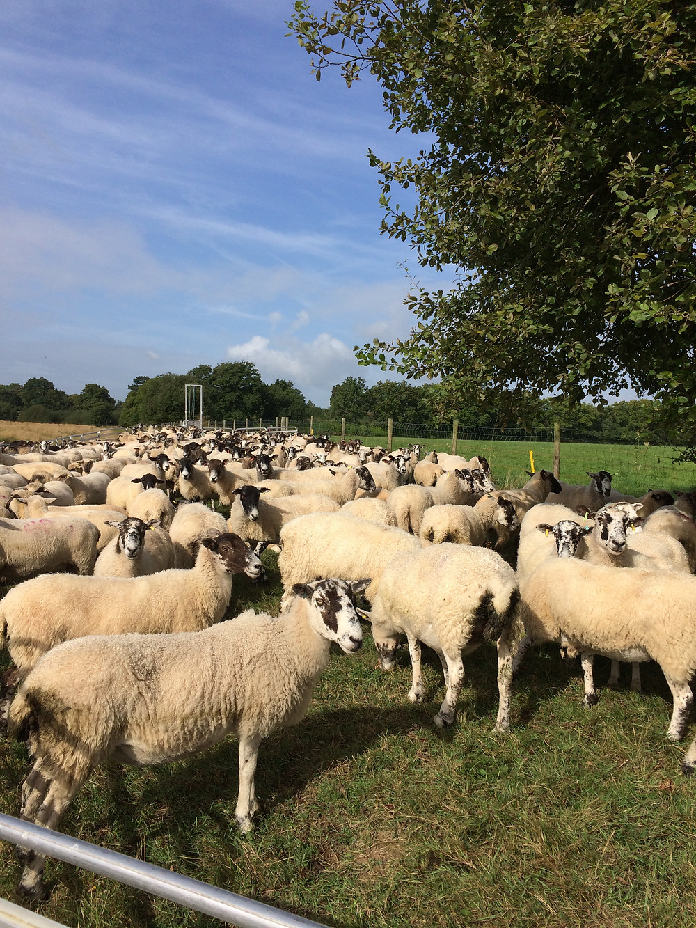 Ewes waiting to be checked through.