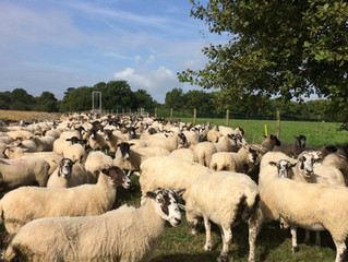 Ewes waiting to have feet, teeth and udders checked to be selected to breed from.