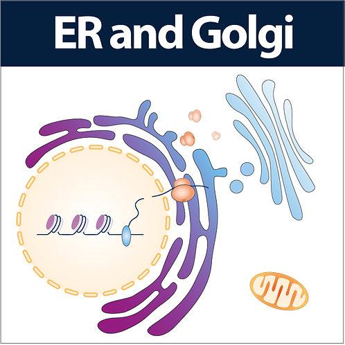 ER and Golgi