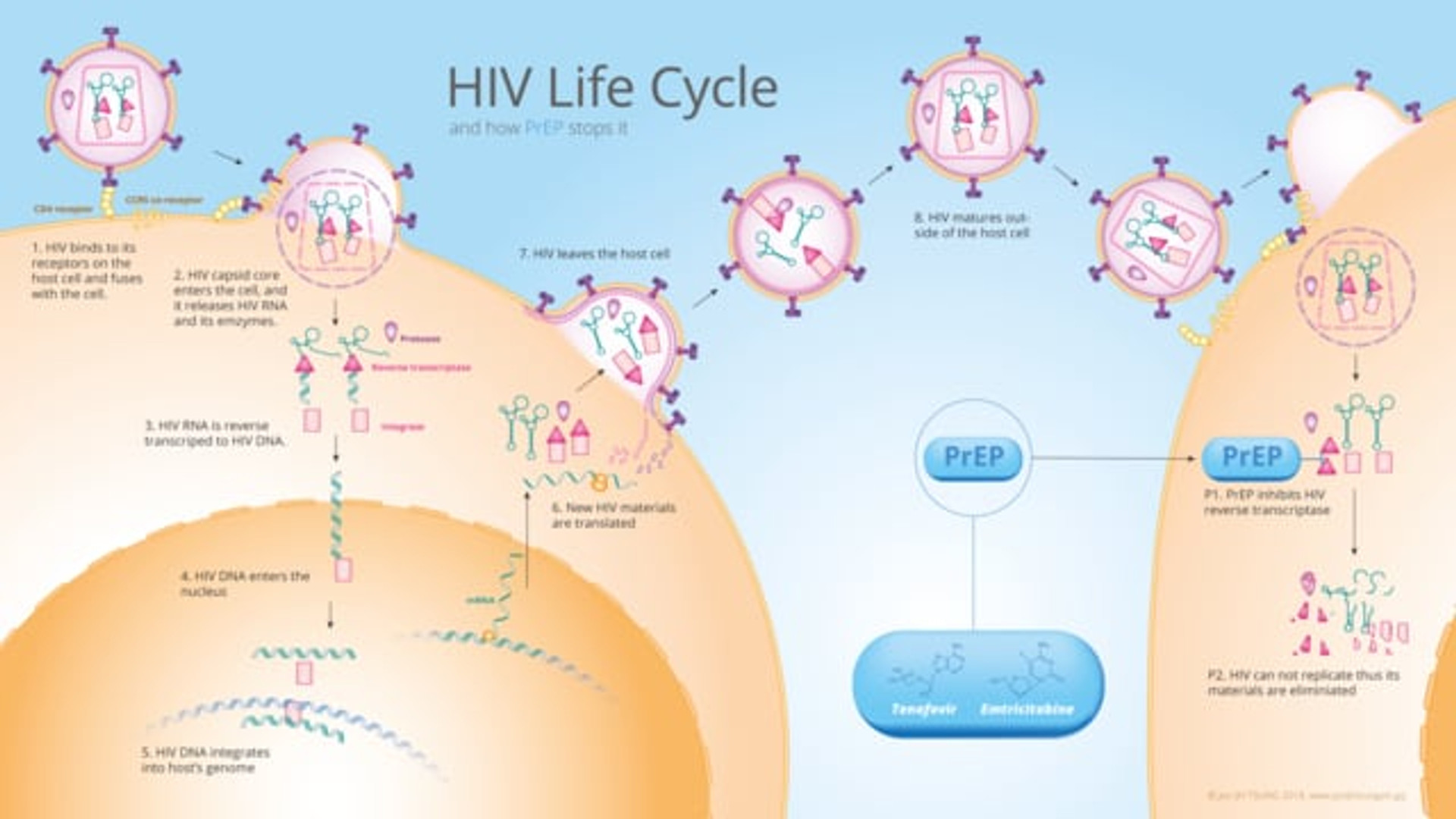 Animation: HIV life cycle and how PrEP Stops It