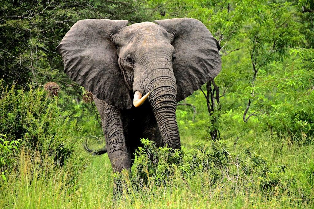 Elephant with one tusk