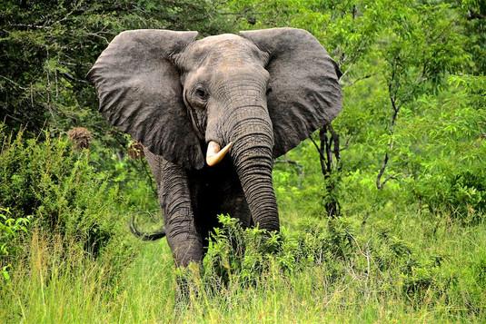 Elephant one tusk