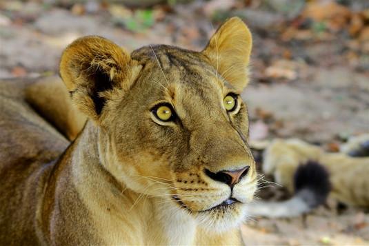 Lionsess