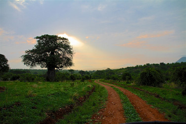Ruaha morning drive