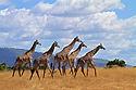 Giraffes 2 049.jpg