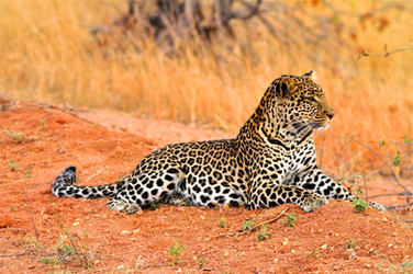 Leopard country
