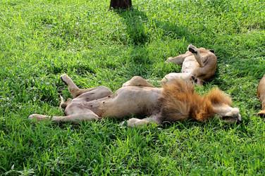 Lazy lions