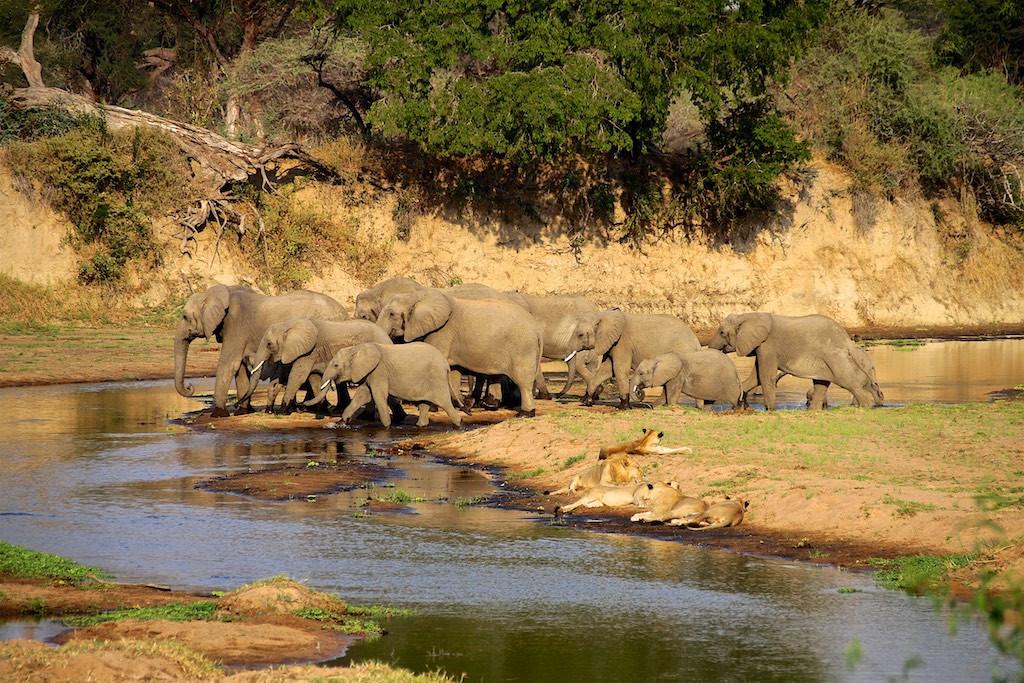 Elephants and lions by Ruaha River