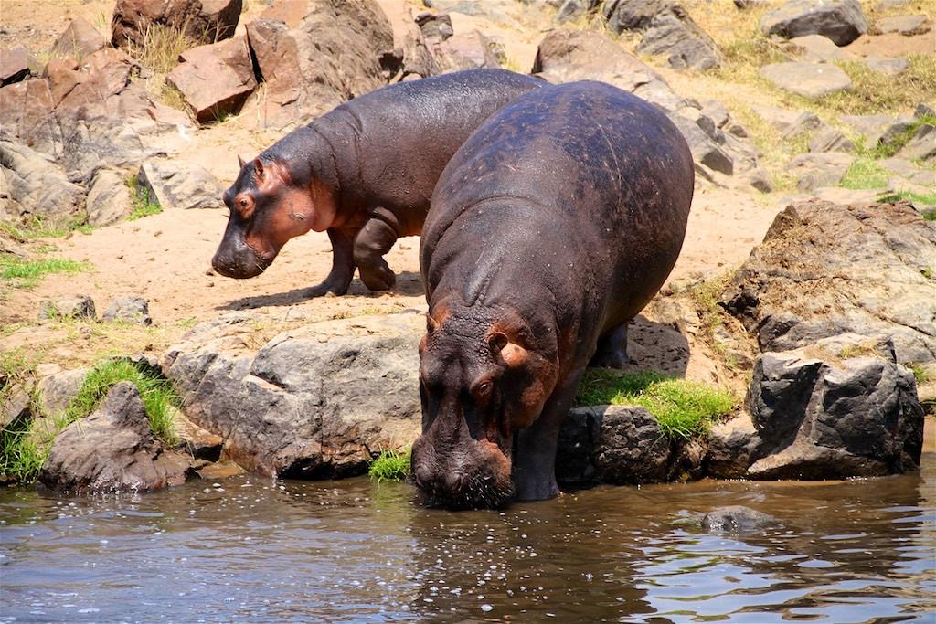 Walking safari hippo encounter