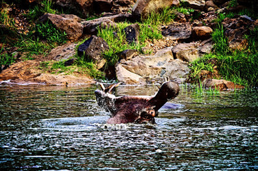 Hippo at Ruaha River