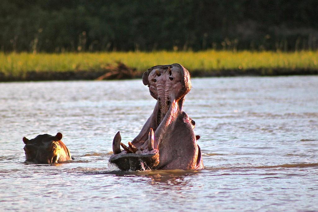 Rufiji Boat safari hippo yawn