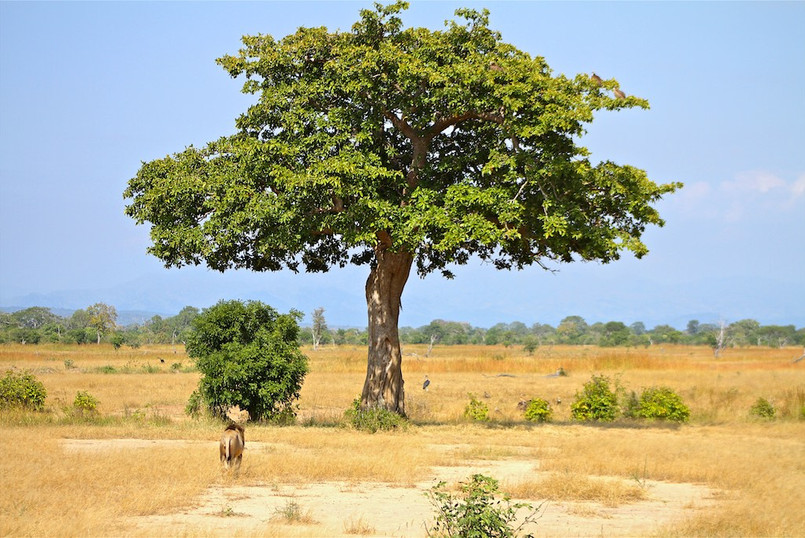 Lion and tree