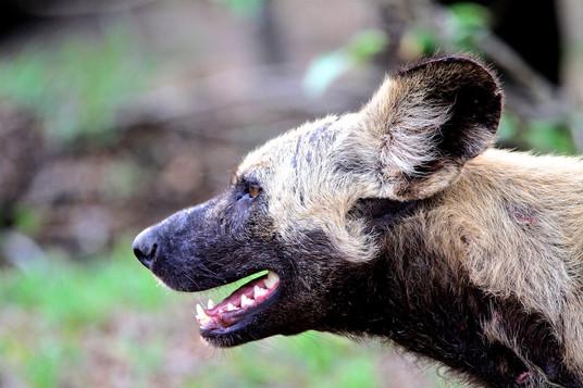 Wild dog aka. hunting dog