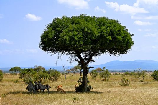 Zebras and tree 108.jpg