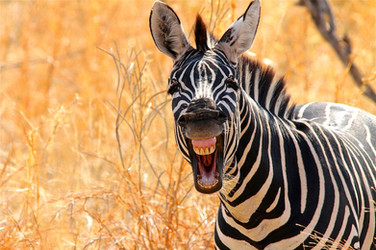 Zebra laughing  159.jpg