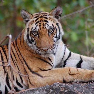 Save tiger campaign