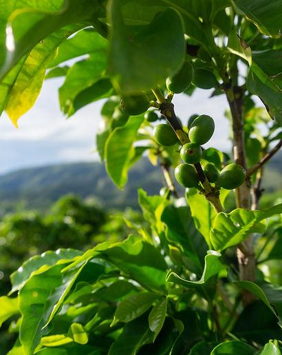 Fotos da Café Selo Verde