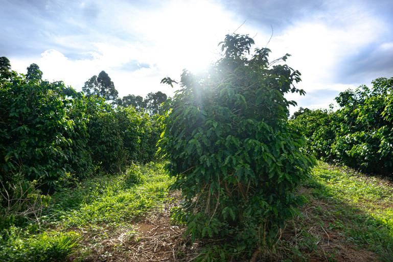 Fazenda da Café Selo Verde