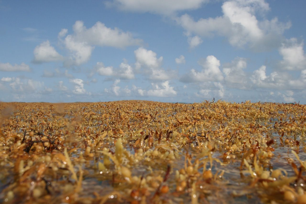 Sargassum Playa del Carmen 2019 update | How to deal with the seaweed